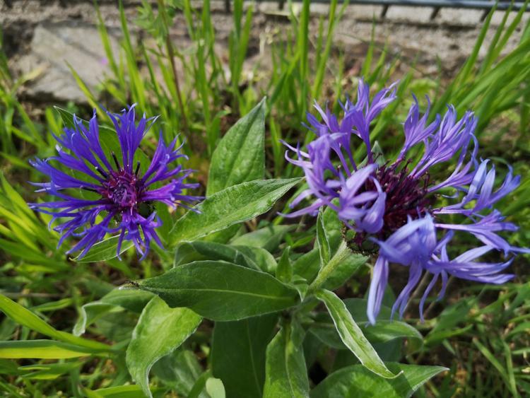 Blumen im Garten der Kita Friedenskirche