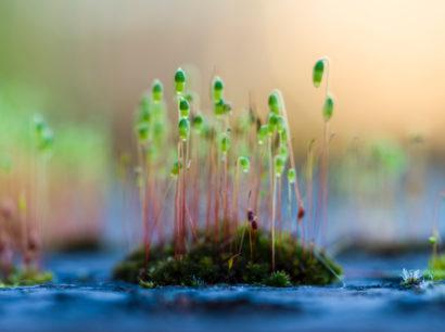 Keimlinge, die auf Moos wachsen