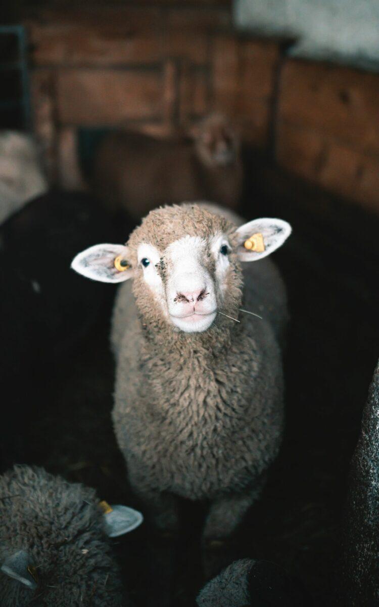 Verlorenes Schaf